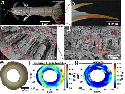 【仿生材料】螳螂虾、寄居蟹助力制备出高强高韧仿生复合材料