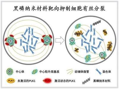 深圳先进院纳米材料精准生物靶向机制研究获进展