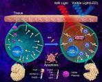 稀土纳米材料助力光遗传技术微创治疗恶性肿瘤