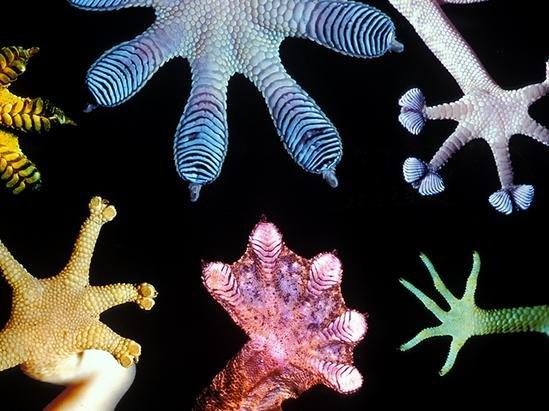 这种小动物飞檐走壁的的能力让人叹为观止,独特的脚掌结构让它们无论